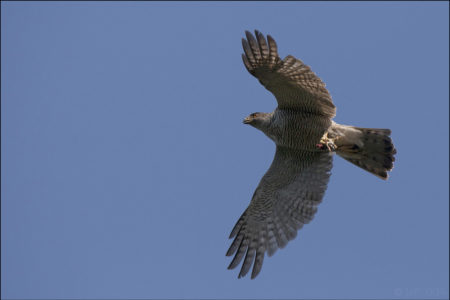 Northern Goshawk, the phantom of the forest, an illustrated talk by Steve Watson