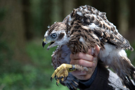Goshawk Satellite Tagging Project – September 2019 Update
