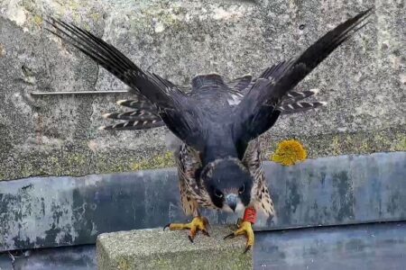 Christ Church Peregrines news