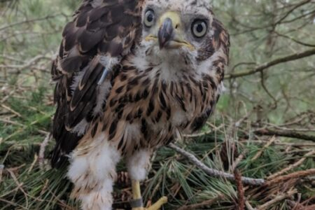 Goshawk Monitoring Project